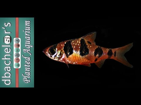 Fish Profile: Snakeskin Barb
