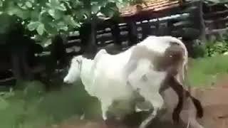 sex vs sapi. hot banget!!