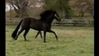 Othello Black Andalusian stallion horse
