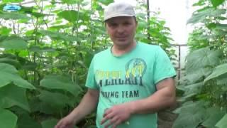 видео Выращивание ранних огурцов без теплицы