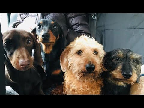 Funny Mini Dachshund  dogs happy moment videos compilation 2021| Try not to laugh pet Videos 2021
