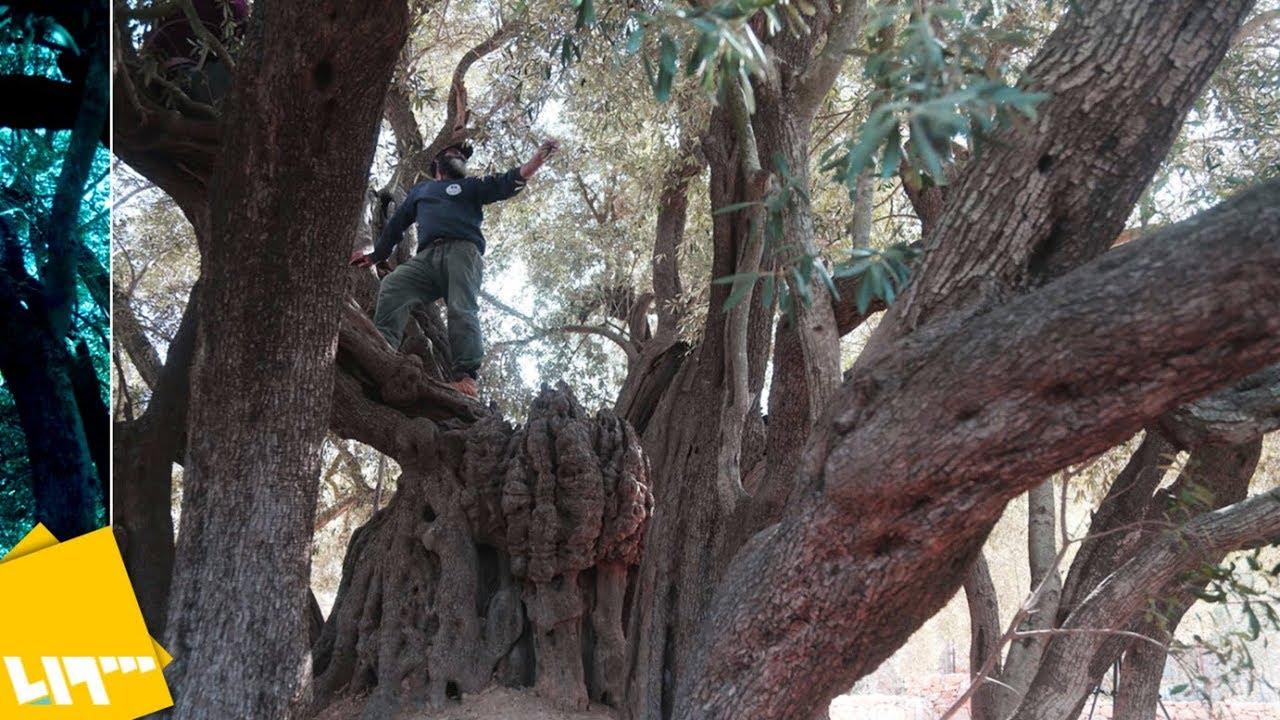 شاهد: أكبر شجرة زيتون معمرة في العالم - YouTube