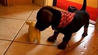 Dachshund Puppy Barking