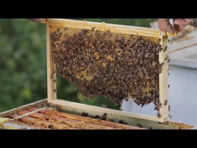 Bijenhouden: natuurbouw als alternatief voor kunstraat