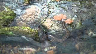Northern Water Snake taking a Swim