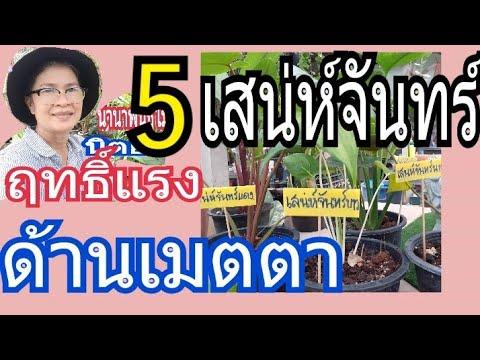 5ว่านไทย เมตตามหานิยมชั้นครู เสน่ห์จันทร์5ชนิดมีฤทธิ์แรงเสริมร่ำรวย เรียกทรัพย์/นานาพันธุ์ไม้byนิตยา