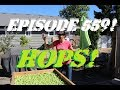 Episode 559! Drying Out Our Harvest of Hops!