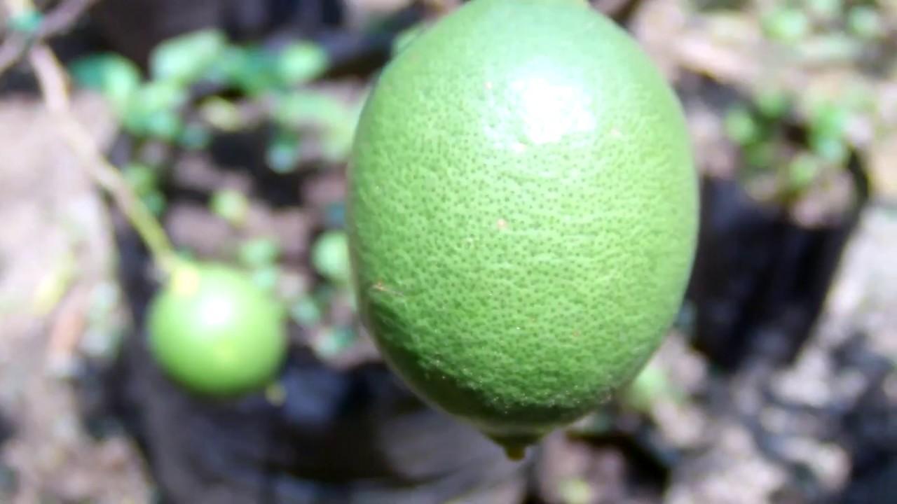 Cara Menangani Hama Penyakit Batang Dan Daun Tanaman Jeruk Lemon Dan Nipis Youtube