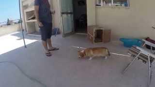Foxy's Food Training! - Part 3 - Pembroke Welsh Corgi Puppy