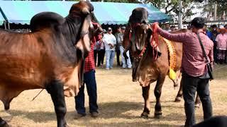 บรรยากาศงานประกวดวัวอินดูบลาซิล สนาม อ.บ้านไผ่ 19 มกราคม 2562 (ช่วงโชว์พ่อพันธุ์อินดูบลาซิล)