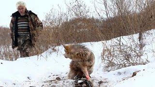 Пенсионер освободил этого волка из капкана, спустя пол года волк отплатил добром