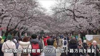 東京・台東区 上野公園の桜の開花状況 2019年3月26日 cherry blossoms in Ueno Park, Tokyo thumbnail