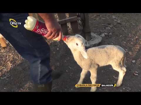 Çobanla Baş Başa-Emekli Öğretmenin Koyun Çiftliği
