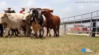 Watch as bulls chase oddly dressed people