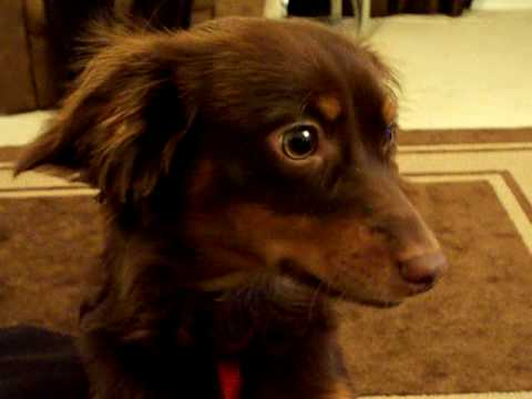 Dexter (Dachshund - Chihuahua) Mix
