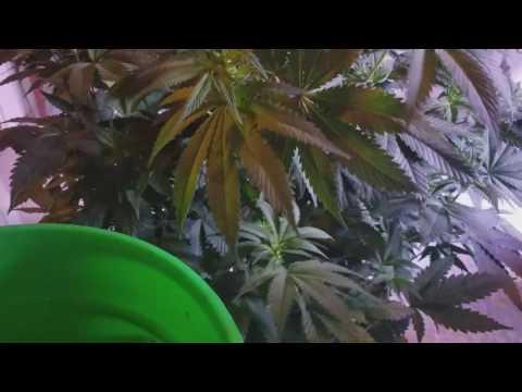 How to: Cloning Cannabis 101, Clone Marijuana plants