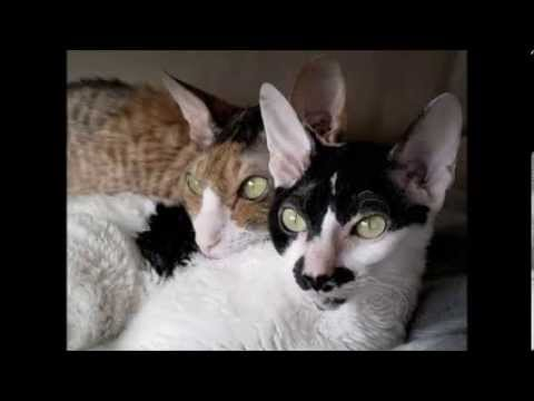 Cat Wars- Cornish Rex vs Devon Rex