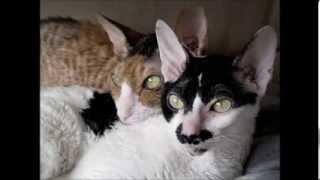 Cat Wars Cornish Rex vs Devon Rex