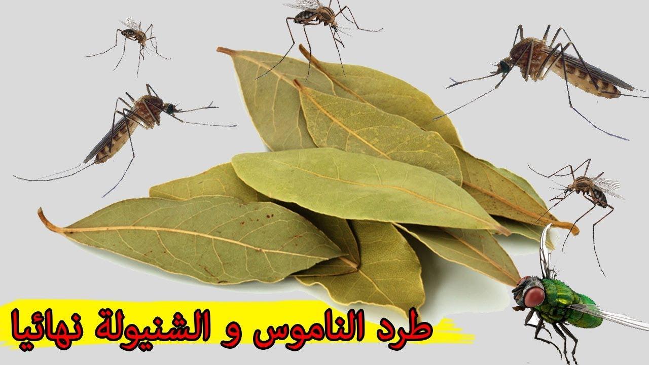 طرد الناموس والبعوض و شنيولة نهائيا من المنزل دون مبيدات لتنعمي بنوم هادئ Youtube