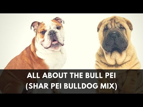 Your Complete Guide To The Bull Pei (English Bulldog Shar Pei Mix)