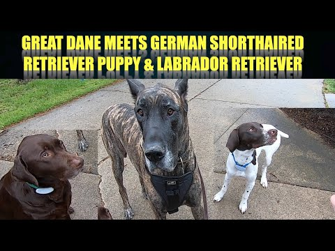 MAGIC THE GREAT DANE MEETS GERMAN SHORT HAIRED POINTER PUPPY AND LABRADOR RETRIEVER