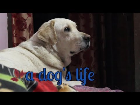 LIFE WITH A LABRADOR| Wildly Indian