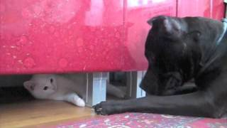Питбуль Бро и ангорский кот Кунак