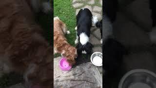 Учим выдержке сразу 5 собак Кавалер Кинг Чарльз Спаниеля