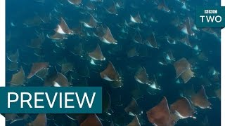 Orca hunt for mobula rays - Wild West: America's Great Frontier: Episode 3 Preview - BBC Two