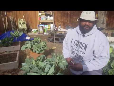 how-to-harvest-collard-greens-so-it-keeps-growing