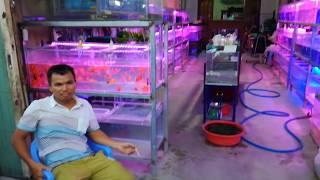Tập 42: Thăm cửa hàng cá cảnh Anh Trang Bình Dương 0972 722 560- ornamental fish store