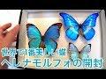 ヘレナモルフォを開封します【蝶の標本】Helena molf butterfly unboxing!