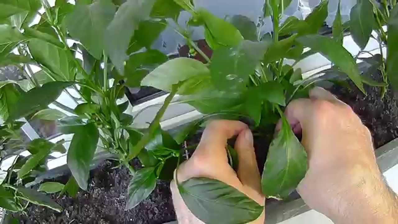 Pomidory I Papryki 9 Balkon Warzywny Ogród Rośnie Youtube