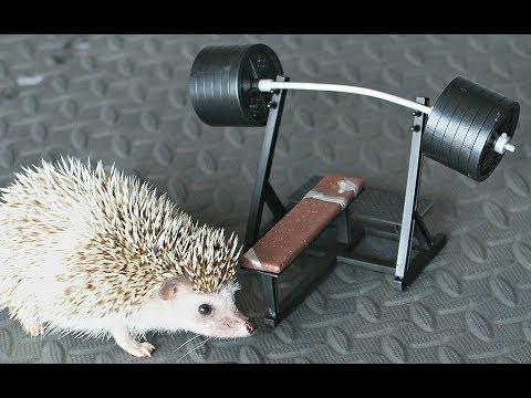 Hedgehog Bench Presses 600lbs