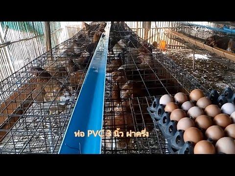การเลี้ยงไก่ 22 สัปดาห์ ทำกรงตับให้เรียบร้อย ไก่ตกใจไข่ไม่สวยเยอะเพราะอะไร
