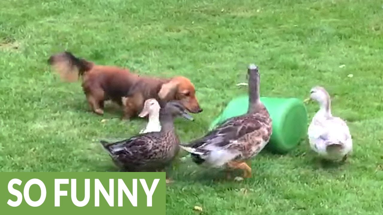 ducks defend their watering can from dachshund youtube