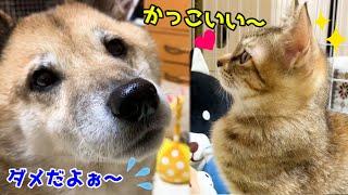 猫のイタズラに柴犬は心配するも子猫は憧れのまなざし♥ Kitten's longing sister cat