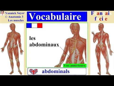 1000 mots en français : Apprendre le vocabulaire des muscles humains