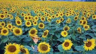 Best Sunflower Farm Planting Video, Friend Farm, Olathe, Colorado