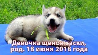 Предлагаем девочку щенка хаски, родилась 18 июня 2018 года
