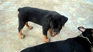 CHE.KENNELS, VELLORE,TAMILNADU,INDIA : 2months male rott puppy with 2 years  female rott playing.AVI