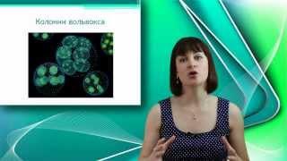 Вольвокс. Онлайн подготовка к ЕГЭ по Биологии.