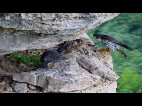 Great Spirit Bluff Falcon Cam ~ A Family Affair; Eating On The Ledge 6.26.17
