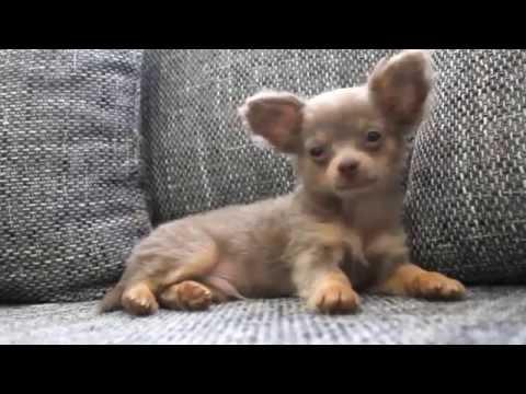 chihuahua-baby-is-sleepy