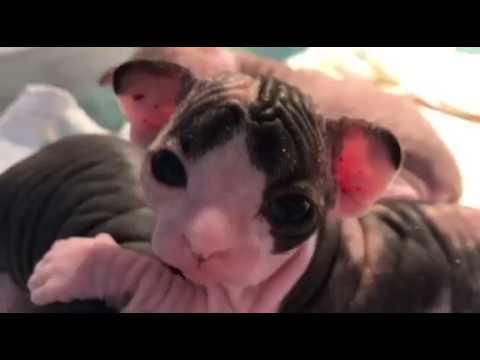 3  Week Old Bambino Kitten