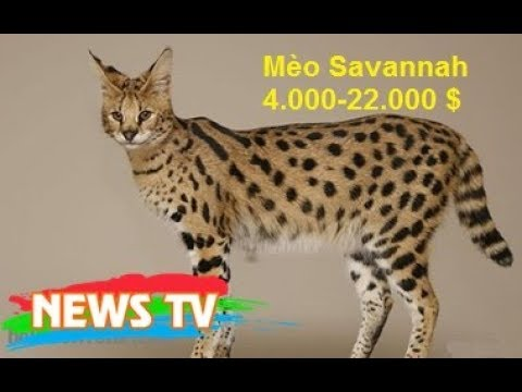 Top 10 loài mèo đắt nhất thế giới