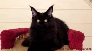 Кошка  Мейн Кун Vlada SolarSong, окрас  чёрный солид, 5 месяцев.  Свободна!