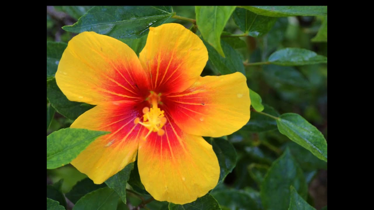 Flowers Of Hawaii Youtube