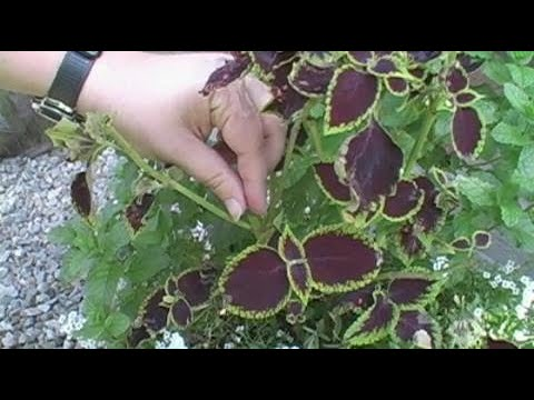 Plant Care Learn How To Pinch Back Coleus And Other Annuals And