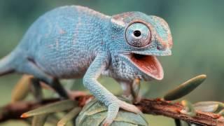 Почему хамелеон меняет цвет? / Как хамелеон меняет окрас?